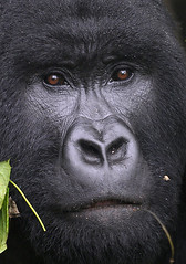 Male Mountain Gorilla, Sabyinyo Group