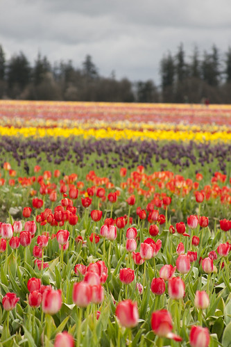 wooden shoe tulip farm 54
