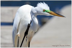 Great Egret (Ardea alba) (Sharon's Bird Photos) Tags: water florida birding breeding greategret specanimal