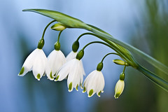 Snowdrops 3 (Colleen Slater) Tags: flowers white macro green petals spring stem colours april snowdrops delicate fragile wwwcolleenslaterphotographycouk