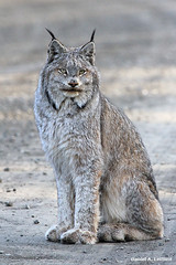 Canada Lynx at Denali National Park (Critter Seeker) Tags: nature alaska canon outdoors rebel lynx denalinationalpark t2i canadalynx denaili