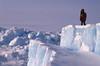 Looks for a Passage (Weber Arctic Expeditions) Tags: ice richard misha weber northpole frostbite arcticocean polarexpedition malakhov wardhuntisland fischerskis polarbridge polartraining capearkticheskiy dimitrishparo shparo