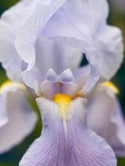 Iris (Simon & Vicki) Tags: iris plant flower macro up closeup spring close purple bloom