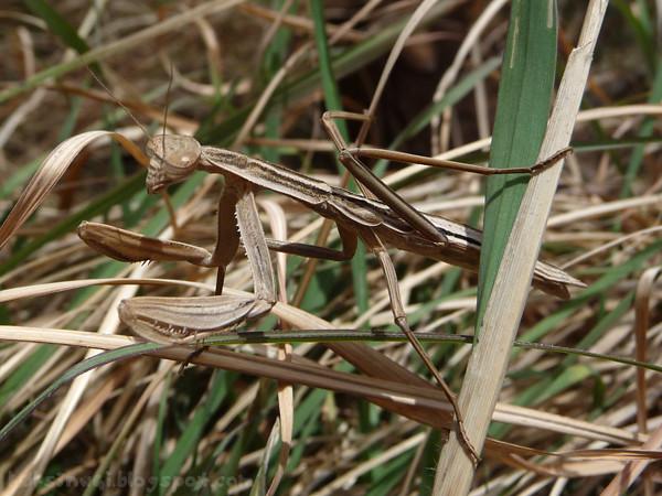 Brown Preying Mantis