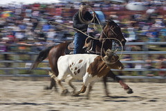 Dayboro Rodeo (farflungphotos) Tags: horse cowboy rodeo calf dayboro brisbanemeetup
