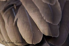 Geese feathers (Antonia Krmer) Tags: brown geese feather goose braun naturephotography federn naturfotografie gnsefedern greenantonia antoniakrmer gessefeathers antoniakrmerfotografie antoniakrmerphotography