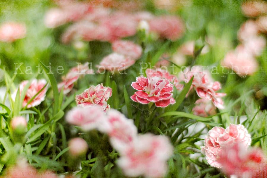Garden Center - Pink Ruffles