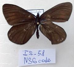 Erebia mackinleyensis