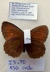 Erebia euryale
