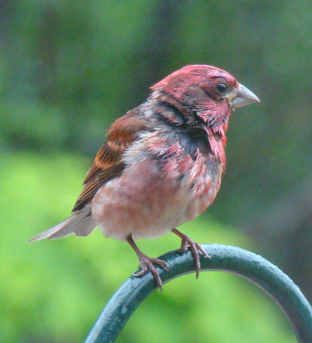 purplefinch2