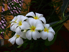 THAILAND-Bangkok, weie Frangipani -14/1076 (roba66 (in hospital)) Tags: city travel flowers plants naturaleza flores colour macro nature fleur thailand flora asia asien blossom bangkok urlaub natur pflanzen explore thai blume makro reise bloem blten eastasia flori ostasien mixedflowers fantasticflower awesomeblossoms roba66 thailandbangkokblumen