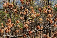 sprouting fertile branches, red oak (ophis) Tags: quercus redoak fagaceae quercusrubra