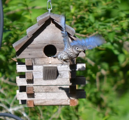 Third Eastern Bluebird to Fledge