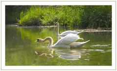 Dreaming on the Dommel (Loe Giesen) Tags: swans dommel zwanen thewonderfulworldofbirds