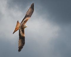 EXPLORED !!! Red Kite Banking (Gareth Scanlon) Tags: uk red sky orange cloud kite milan bird eye composite wales photoshop ed rouge nikon carmarthenshire air 14 boda flight feather overcast 300mm tc if pro prey 300 nikkor brecon beacons gareth scanlon f4 teleconverter dgs soar afs glide cs4 milvus milvusmilvus kenko 14x barcud rotmilan brynamman garethscanlon wennol promaries