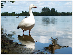 Where did he come from! (macfudge1UK) Tags: uk england lake bird water fauna spring europe wildlife ngc waterbird goose lakeside waterfowl oxfordshire canadagoose brantacanadensis avian oxon hs20 snowgoose lessersnowgoose ansercaerulescens 2011 stantonharcourt allrightsreserved bej bbcspringwatch fantasticnature countryfile naturethroughthelens rspblovenature hs20exr fujifilmfinepixhs20exr fujihs20exr fujifilmhs20