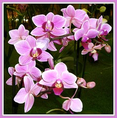 Garland of orchids,!!!!!!! (Juniebabie) Tags: flowers macro home face mouth nose orchids maroon stripes centre clusters angles shades lilac pinks prolific 2ndblooming mauves