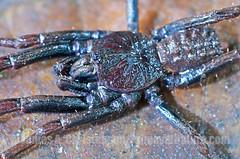 Paratropis (Primeval Nature) Tags: nature horizontal closeup spider ecuador spiders wildlife arachnid jag arachnida primitive mindo pichincha mygalomorph mygalomorphae paratropididae paratropis paratropidinae
