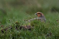 Partridges grey Durham Moors 8.5.2014 (1) (Margaret the Novice) Tags: partridges