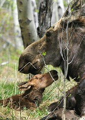 Happy Mothers Day.  (Prairie girl at heart) Tags: life family portrait baby love nature fauna forest cow pom twins nikon wildlife birth moose alberta newborn pow mothersday gentle naturephotocontest naturecanada