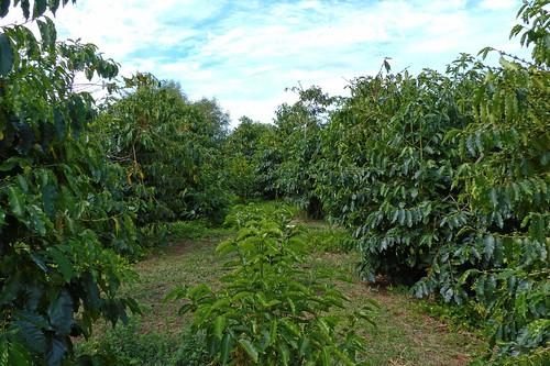 Coffee Trees at Piliani Kope Coffee Farm