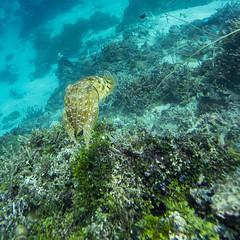 Cuttlefish Over Reef (garyeverettdavis) Tags: coast underwater wildlife southpacific papuanewguinea invertebrate kimbebay