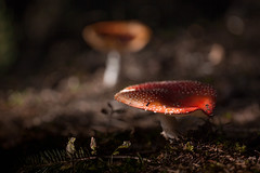 Two fly agarics (backsidewalkaround) Tags: mushroom fliegenpilz flyagaric zweifliegenpilze