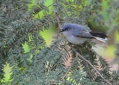 blue gray gnatcatcher (laurie_frisch) Tags: blue gray iowa rapids cedar gnatcatcher