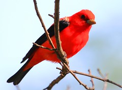 scarlet tanager IMG_6659 (lreis_naturalist) Tags: scarlet reis larry tanager