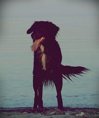 Bones am Strand (juhlsofficial) Tags: ocean dog beach water tongue strand golden labrador retriever hund bones bums bordercollie ostsee zunge knochen bumms töle adhs
