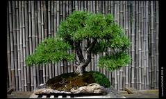 Bonsai (Laurent DUCHENE) Tags: bonsai