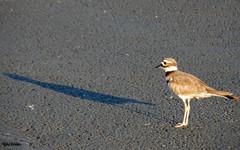 A Bird Ponders Life (rcvernors) Tags: abirdponderslife rcvernors rickchilders featheredfriend blacktop longlegs birdlegs cute shadow
