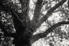 Shining through (Diaffi) Tags: shining brightness tree baum ste branches light zeissikonzm analog blackandwhite monochrome selfdeveloped film ilford fp4