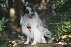 chillin' (TimsPhotos_) Tags: chillin dog sheltie forest blackforest bokeh canon outdoor autumn fall