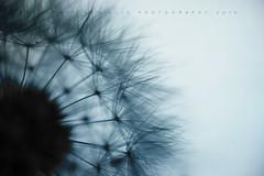 As You Wish... (Rosemary Danielis) Tags: flower dandelion wish macro macrophotography monotone plants