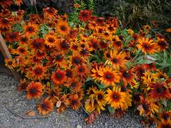 "Rudbeckia ""Cappuccino"" (Kniphofia) Tags: rudbeckia cappuccino orange flowers"