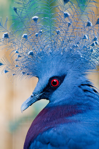 Victoria Crowned Pigeon / torimages