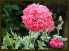 Papaver (ditmaliepaard) Tags: flower poppy picnik klaproos papaver dubbel bloem abigfave