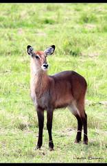 Waterbuck (Héctor Conesa) Tags: africa naturaleza animal fauna canon agua natural safari 7d uganda libre 100400mm antilope presa cobo africano waterbuck gacela salvaje herbivoro kidepo sabanaafricana