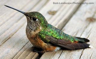 Hummingbird - color