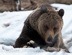 Doesn't that look Yummy! (ChicagoBob46) Tags: bear yellowstonenationalpark yellowstone grizzly grizz grizzlybear naturesgallery thenaturesgreenpeace mothernaturesgreenearth ynetbf