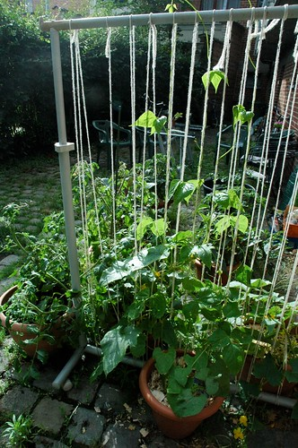 Cucumber and bean trellis