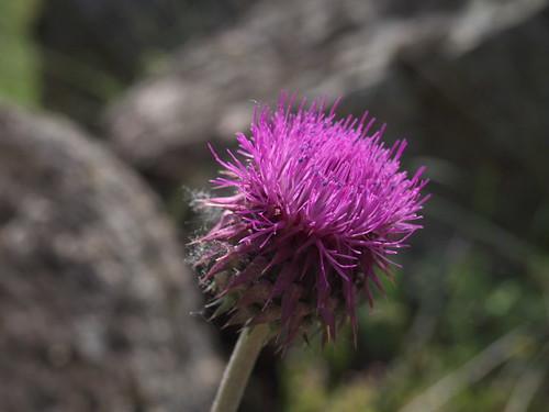 菊科薊屬的花