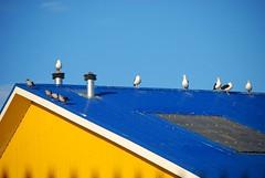 Gaviotas en el techo (C_AVALOS_R) Tags: de puerto punta arenas gaviotas