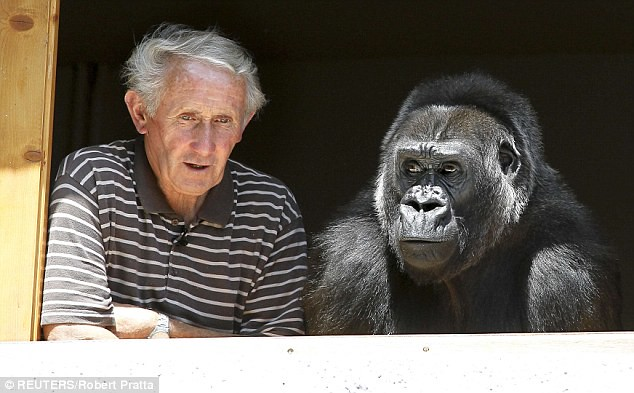 A guy and his gorilla Huge beast treated like one of the family by zoo owner  4