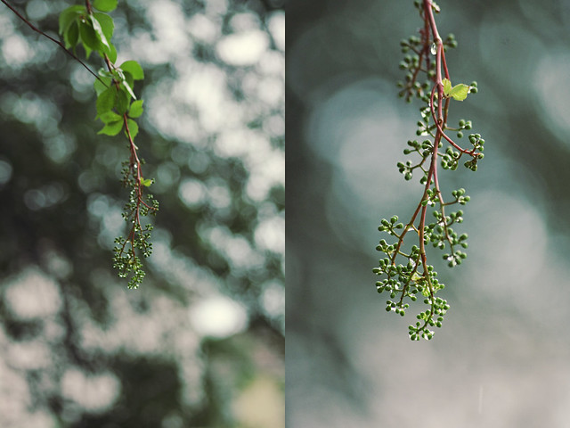 grapevine diptych