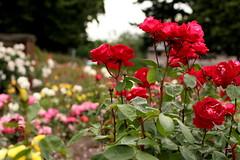 IMG_9022 (Alicia J. Rose) Tags: rose j stunning portlandoregon rosegarden summerday fullbloom peninsulapark gardenamerican flowerstopiary beautydigital magicportland oregonjuneuaryalicia