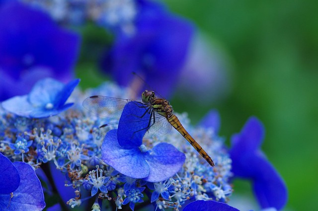 紫陽花で休憩