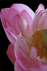 Pink Lotus Flower -IMGC8459 (Bahman Farzad) Tags: pink flower macro yoga peace lotus relaxing peaceful meditation therapy lotusflower lotuspetal lotuspetals lotusflowerpetals lotusflowerpetal