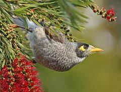 Stay Away from my Bottlebrush (TheGreatContini) Tags: red flower bird beautiful sydney feathers australia bloom newsouthwales nectar bottlebrush noisyminer naturesfinest supershot avianexcellence
